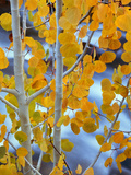 Autumn Leaves on Aspen Tree in the Sierra Nevada Range, Bishop, California, Usa Photographic Print by Dennis Flaherty