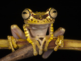 Imbabura Treefrog, Choca Region, Ecuador Photographic Print by Pete Oxford