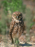 Burrowing Owl, Florida, Usa Photographic Print by Connie Bransilver