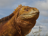 Land Iguana, Baltra Island, Galapagos Islands, Ecuador Photographic Print by Pete Oxford