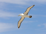 Shy Albatross in Flight, Bass Strait, Tasmania, Australia Photographic Print by Rebecca Jackrel