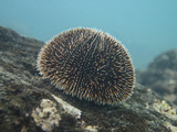 Edible Flower Sea Urchin, Tagus Cove, Isabela Island, Galapagos Islands, Ecuador Photographic Print by Pete Oxford