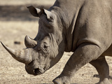 Profile Close-Up of Endangered White Rhinoceros, Okapuka Ranch, Windhoek, Namibia Photographic Print by Wendy Kaveney