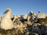 Shy Albatross Chick and Colony, Bass Strait, Tasmania, Australia Photographic Print by Rebecca Jackrel
