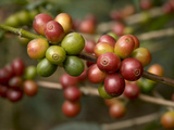 Coffee Beans on Coffee Bush, Costa Rica Photographic Print by Rob Sheppard