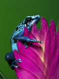 Blue Poison Dart Frog Aka Okopipi, Surinam Photographic Print by Adam Jones