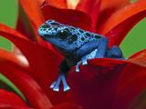 Blue Poison Dart Frog, Surinam Fotografisk tryk af Adam Jones