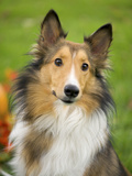 Rough Collie Photographic Print by Jim Engelbrecht