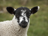 Lamb Near Malham, Yorkshire Dales, North Yorkshire, England Photographic Print by David Wall