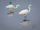 Great Egrets, Huntington Beach State Park, South Carolina, Usa Photographic Print by Rob Sheppard
