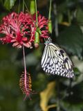 Paper Kite Butterfly Photographic Print by Adam Jones