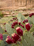 Prickly Pear Cactus Fruit, Canyonlands National Park, Utah, Usa Photographic Print by Rob Sheppard