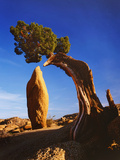 Weathered Juniper Tree Frames Rock Monolith, Joshua Tree National Park, California, Usa Photographic Print by Dennis Flaherty