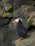 Tufted Puffin, St Paul, Pribilof Islands, Alaska, Usa Photographic Print by Rebecca Jackrel