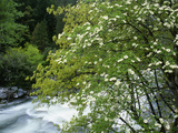 Flowering Dogwood Tree Along the Merced River, Yosemite National Park, California, Usa Photographic Print by Dennis Flaherty