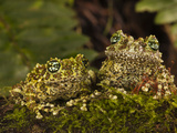 Vietnamese Mossy Frog, Central Pennsylvania, Usa Photographic Print by Joe McDonald