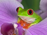 Red-Eyed Tree Frog Fotografisk tryk af Adam Jones