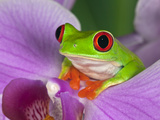 Adam Jones - Red-Eyed Tree Frog Fotografická reprodukce