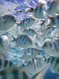 Underwater Fish, Aitutaki, Cook Islands Photographic Print by Douglas Peebles