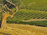 Mountadam Vineyard Winery on High Eden Road, Barossa Valley, Australia Photographic Print by Janis Miglavs