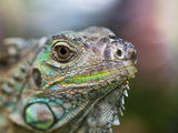 Profile of a Green Iguana, Costa Rica Photographic Print by Jim Goldstein