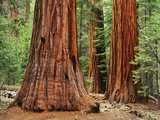 Close-Up of Sequoia Trees in Forest, Yosemite National Park, California, Usa Photographic Print by Dennis Flaherty