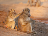 Two Grooming Baboons, Senyati Safari Camp, Botswana Photographic Print by Wendy Kaveney