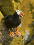 Tufted Puffin with a Mouthful of Fish, St Paul, Pribilof Islands, Alaska, Usa Photographic Print by Rebecca Jackrel
