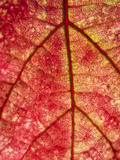 Grape Leaf in Fall, Paso De Robles, California, Usa Photographic Print by Rob Sheppard