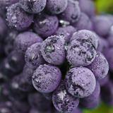 Chianti Grapes Ready for Harvest  Greve  Tuscany  Italy