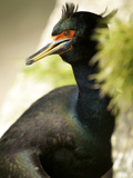 Red-Faced Cormorant, St Paul, Pribilof Islands, Alaska, Usa Photographic Print by Rebecca Jackrel