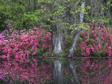 Azaleas in Bloom at Magnolia Plantation and Gardens, Charleston, South Carolina, Usa Photographic Print by Joanne Wells