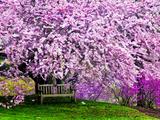 Wooden Bench under Cherry Blossom Tree in Winterthur Gardens, Wilmington, Delaware, Usa Photographie par Jay O'brien