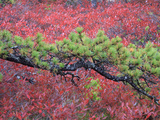 Pine and Blueberry Bushes in Acadia National Park, Maine, Usa Photographic Print by Joanne Wells