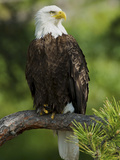 Bald Eagle Perching in a Pine Tree, Flathead Lake, Montana, Usa Photographic Print by Rebecca Jackrel