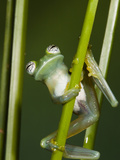 Glass Frog, Choca Region, Ecuador Photographic Print by Pete Oxford