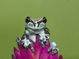 Amazon Milk Frog Photographic Print by Adam Jones