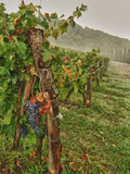 Chianti Grapes Ready for Harvest, Greve, Tuscany, Italy Photographic Print by Richard Duval