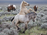 Wild Horse Babies Playing, Wyoming, Usa Photographic Print by Larry Ditto