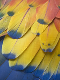 Scarlet Macaw Feather Detail, Chichicastenango, Western Highlands, Guatemala Photographic Print by Rob Tilley