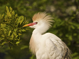 Cattle Egrets, Florida, Usa Photographic Print by Connie Bransilver