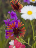 Prairie Gaillardia and Various Wildflowers, Texas, Usa Photographic Print by Julie Eggers