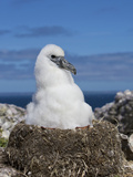 Shy Albatross Chick, Bass Strait, Tasmania, Australia Photographic Print by Rebecca Jackrel
