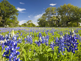 Field of Texas Bluebonnets and Oak Trees, Texas Hill Country, Usa Fotografisk tryk af Julie Eggers