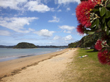 Pohutukawa Tree and Beach, Paihia, Bay of Islands, Northland, North Island, New Zealand Photographic Print by David Wall