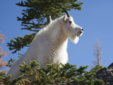 Mountain Goat, Alpine Lakes Wilderness, Washington, Usa Photographic Print by Jamie & Judy Wild