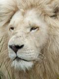 African Lion, Inkwenkwezi Private Game Reserve, East London, South Africa Fotografisk tryk af Cindy Miller Hopkins