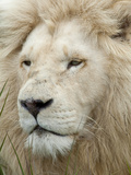 African Lion, Inkwenkwezi Private Game Reserve, East London, South Africa Photographic Print by Cindy Miller Hopkins