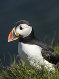 Puffin, Staffa, Off Isle of Mull, Scotland Photographic Print by David Wall