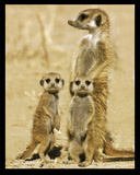 Meerkats Posters